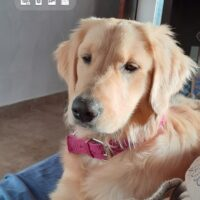 Se busca Golden Retriever Noah