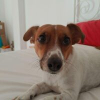 Jackie, jack russell terrier, macho, con chip, Gandia